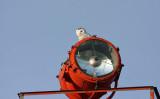 Snowy Owl 2328