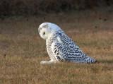 Snowy Owl 2383