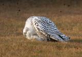 Snowy Owl 2396