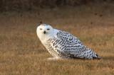 Snowy Owl 2412