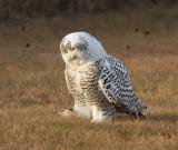 Snowy Owl 2417