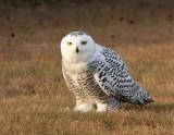 Snowy Owl 2428