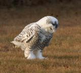 Snowy Owl 2432