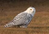 Snowy Owl 2469
