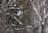 Northern Shrike 2510