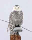 Snowy Owl 3411