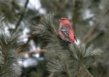 Pine Grosbeak 3841