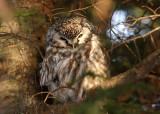 Boreal Owl 5044