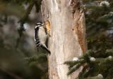 Downy Woodpecker 4320