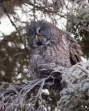 Tundra Owls