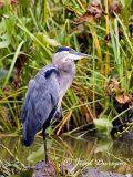 Great Blue Heron DSC_0608-ec.jpg