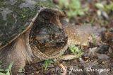 Snapping Turtle DSC_0954-ec.jpg