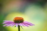 Echinacea purple