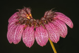 Bulbo. puchellum viatropurpureum 'Polope'