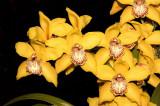 Cymbidum Eia Amario Golden Harvest AM/AOS