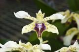 Den.atroviolaceum