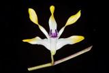Den. (canaliculatum x canaliculatum 'Yellow Imp')
