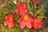 Den. cathbertsonii