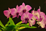Dendrobium Style Orchids