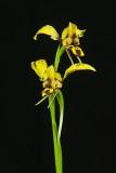 Diuris earwig (corymbosa x sulphera )