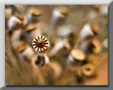 Poppy seeds ...