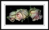 continental roses...