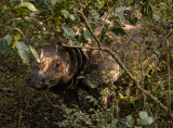 Indian Rhinocero, Royal Chitwan NP