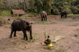 Befriended Elephants, Royal Chitwan NP