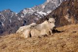 Himalayan Yaks, Langtang Himal