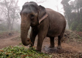 Befriended Elephant, Royal Chitwan NP
