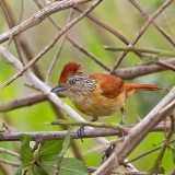 Barred Antshrike (fem)