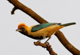 _Burnishing-buff Tanager
