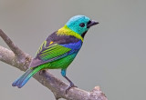 Green -headed Tanager