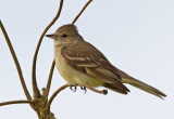Plain-crested Elaenia-