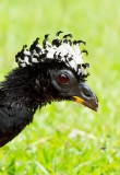 Bare-faced Curassow (fem)