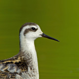 Red- necked Palarope