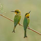 Little-Bee-eater.