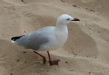 Silver-Gull