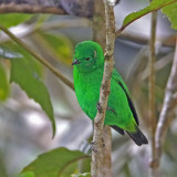 Glittering Green Tanager