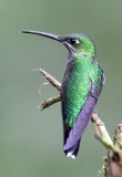 Green -crowned Brilliant