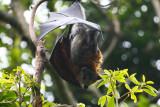 Fruit-Bat Australia