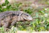 Lizard Brazil