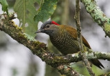 Golden Olive-Woodpecker