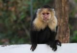 Monkey Nicaragua