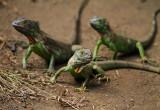 Lizard Nicaragua