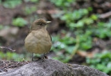 Clay-colored-Robin