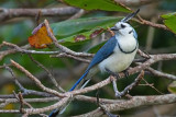 White-troated-Magpie-Jay