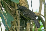 Black-hooded Antbird (fem)