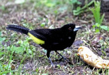 Lemon-rumped Tanager