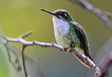 Booted Racket-Tail (fem)